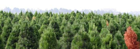 christmas tree farms pensacola local news events archives bob toyota