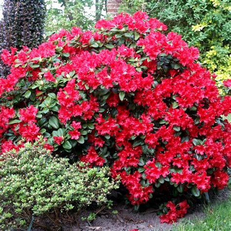 flowering garden shrubs 1 rhododendron scarlet evergreen bushy shrub