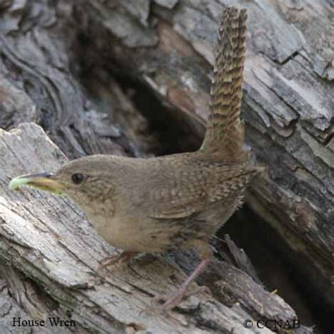 house wren birds of cuba birds seen in cuba
