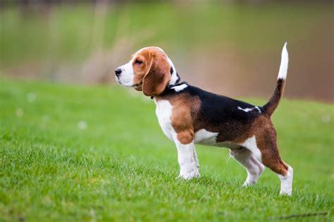 puppy beagles beagle breed health