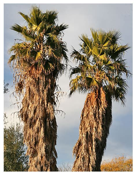 do date fans california fan palm desertusa