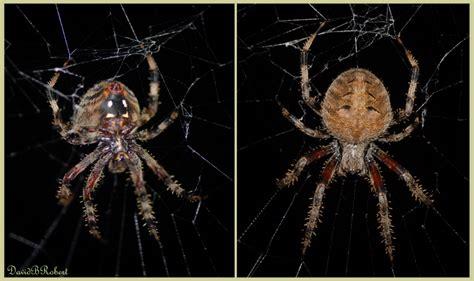 Garden Spider Belly Treknature Garden Spider Photo