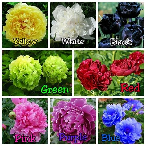 Benih Bibit Biji Bunga Purple Peony Import jual benih bibit biji paket bunga peony all colors seeds import onigiri frenzy