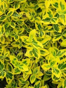 euonymus fortunei emerald n gold yellow golden green