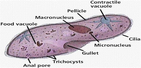 protist diagram kwoni s scavenger hunt 22 an animal like protist