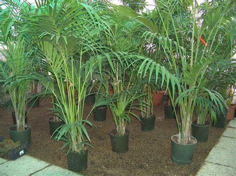 kentia pianta da appartamento piante da vaso howea kenzia howea belmoreana howea
