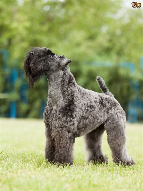 coated dogs 4 gorgeous breeds of curly coated dogs pets4homes