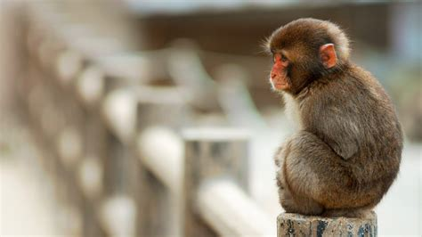 monkey wallpaper for walls wallpaper macaque monkey cute animals funny animals 4559