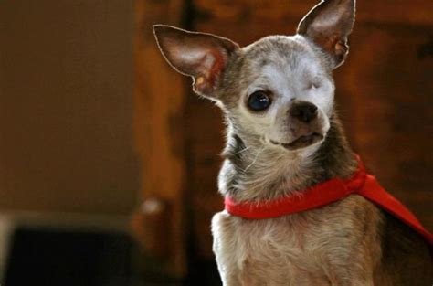 how many puppies do chihuahuas 1012 best images about chihuahua daily on chihuahuas chihuahua dogs and