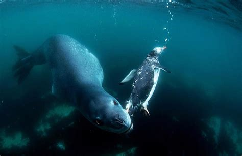 a happy death penguin photos of a penguin last moment before eaten by a leopard seal