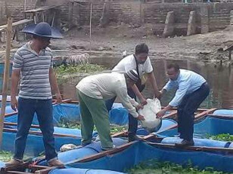 Bibit Ikan Lele Dumbo pt daya labuhan indah salurkan bantuan bibit ikan lele dumbo