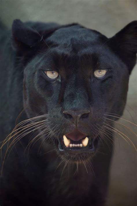 black leopard nz black leopard face 2 jpg 2912 215 4368 jaguar painting