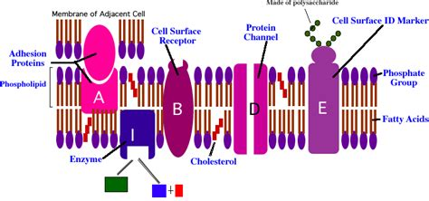 3 proteins found in plasma new exles of proteins found in cell membrane exle