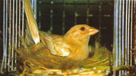 accoppiamento cardellini in gabbia canarino uccelli allevamento accessori