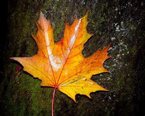 wallpaper daun gugur all new wallpaper gambar gambar indahnya musim gugur