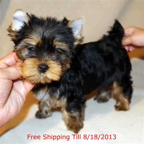 free teacup yorkies puppies puppys yorkies with quotes quotesgram