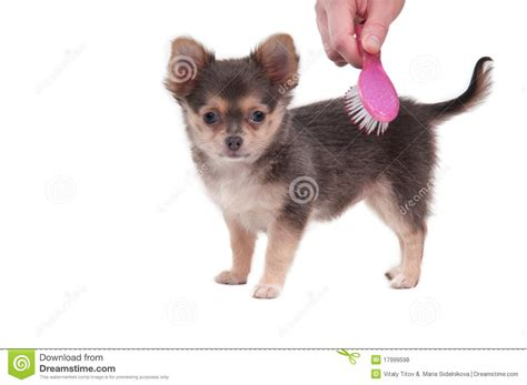 hair chihuahua hair growth what to expect brushing chihuahua puppy isolated on white stock photo