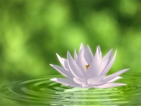 imagenes de rosas sobre agua cuadro flor sobre agua ref 41172939 100 a medida