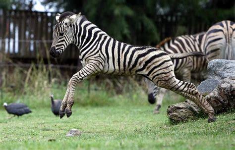 google images zebra image baby zebra google search amazing earthlings