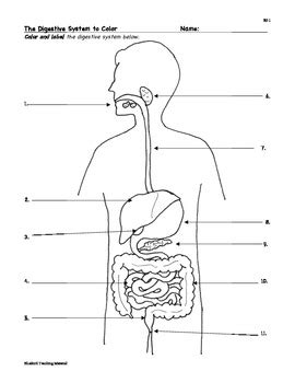 digestive system coloring page key digestion digestive system facts color worksheet