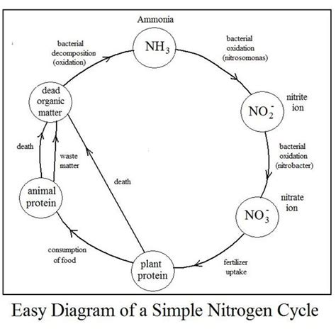 diagram of a cycle of a nitrogen cycle diagram diagram site