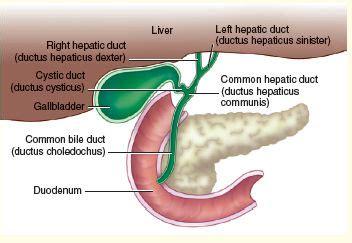 ductus hepaticus communis