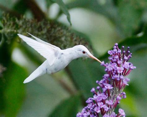 are hummingbirds color blind white hummingbird