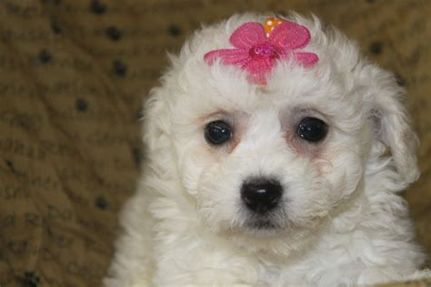 bichon frise puppies for sale in pa cheap bicbon frises for sale in nj breeds picture