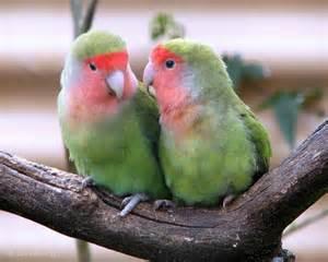 lovebird colors lovebirds