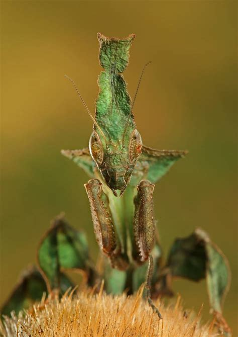 mantis l ghost mantis phyllocrania paradoxa prayingmantis farm praying mantis specilist