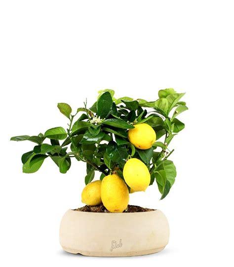 come curare il limone in vaso bonsai limone curare bonsai coltivare il bonsai limone
