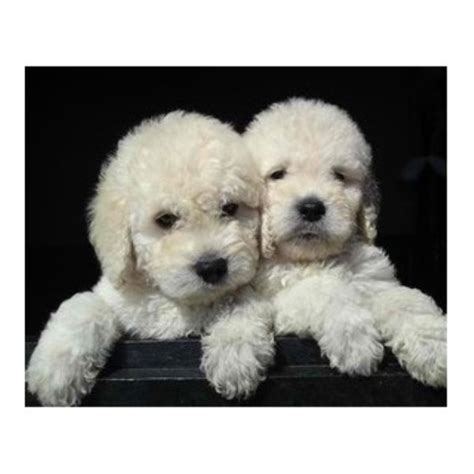 doodle rescue in indiana goldendoodle breeders and kennels freedoglistings