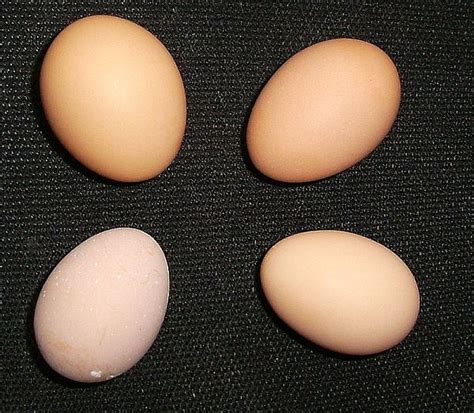 buff orpington egg color our chickens nifty stuff