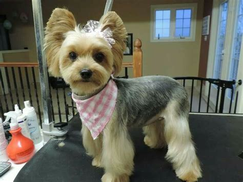 korean cut for yorkie 17 best images about poofs on pinterest yorkshire