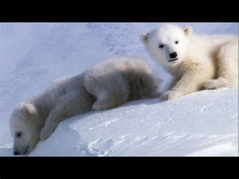 amazing animal babies cool cute cubs amazing animal babies polar bear cubs ep 6 earth unplugged