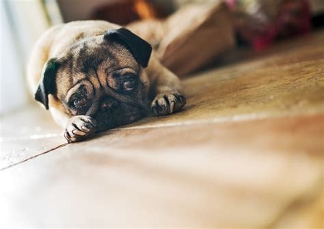 why do pugs smell why do dogs smell bad faqs dogs guide omlet uk