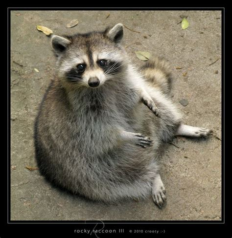 8 best images about rascal the raccoon on pinterest cats
