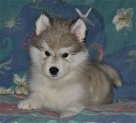 alusky puppies alusky husky malamute info puppies and pictures