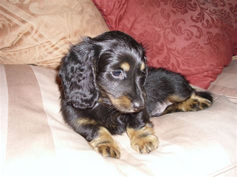 haired miniature dachshund puppies haired dachshund dapple breeds picture