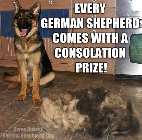 Do German Shepherds Shed by The World S Catalog Of Ideas