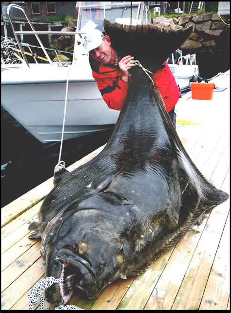 the world s largest halibut on a fishing rod 540