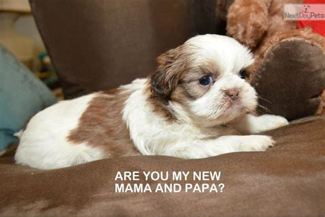 liver and white shih tzu puppies for sale meet zia a shih tzu puppy for sale for 1 150 akc and white liver shih