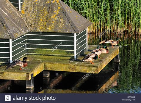 buy duck house mallards wild ducks anas platyrhynchos at duck house in ditch stock photo royalty