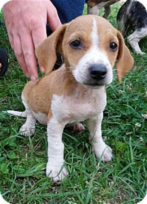 beagle dachshund mix puppies for sale mini dachshund beagle mix breeds picture