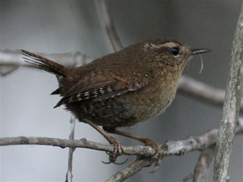 pacific wren in point loma san diego birding