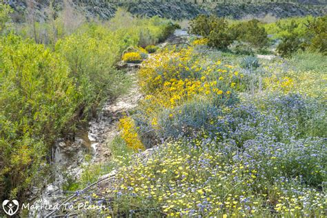 anza borrego wildflowers 2017 a visit to the anza borrego desert to see the wildflower