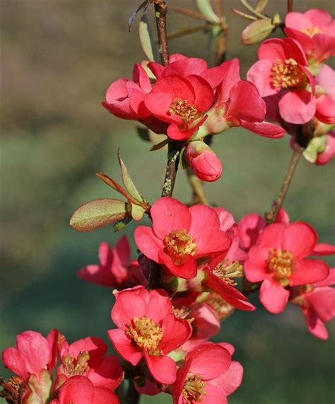 Small Flowering Shrub - chaenomeles speciosa common flowering quince go botany