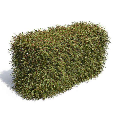 cotoneaster hedge with berries 3d model max obj mtl mat cgtrader com