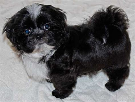black and white shih tzu puppies for sale black and white shih poo puppies www pixshark images galleries with a bite