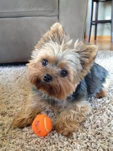 why has my maltese terrier got thin hair 25 best ideas about yorkie hairstyles on pinterest